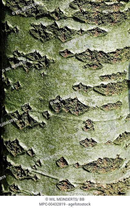 Silver-leaf Poplar (Populus alba) bark, Netherlands