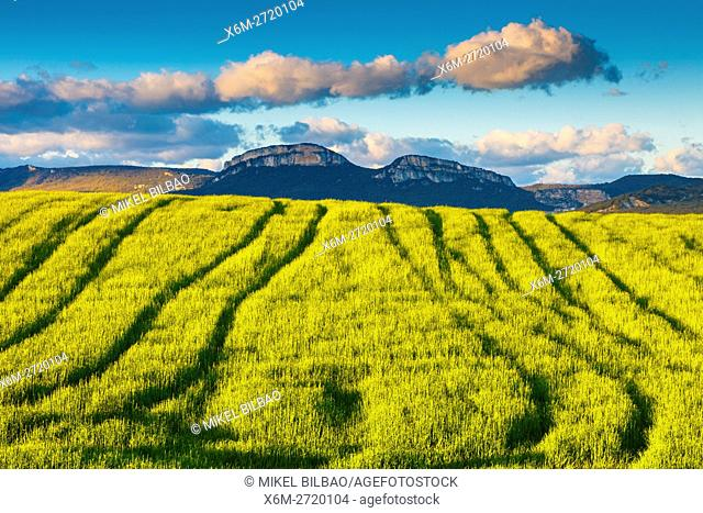 Loquiz mountain range and cereal crop. Tierra Estella, Navarre, Spain, Europe