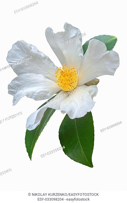 Tea oil camellia (Camellia oleifera). Called Oil-seed camellia also. Image of flower isolated on white background