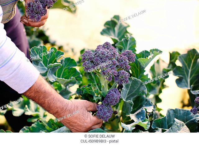 Man holding freshly picked purple sprouting broccoli