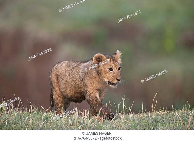 Lion (Panthera leo) cub, Ngorongoro Crater, Tanzania, East Africa, Africa