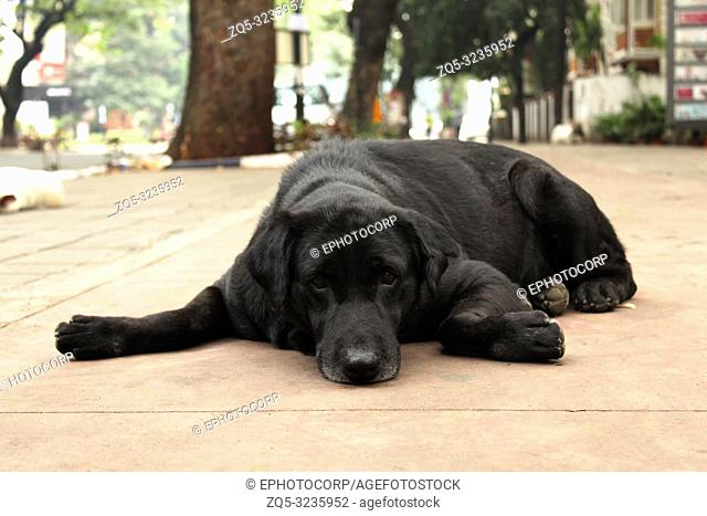 Black Retriever dog sitting on footpath, Pune, Maharashtra