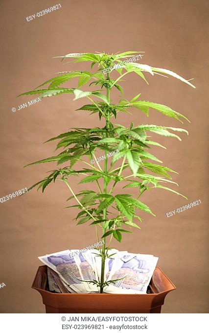Cannabis business concept. Cannabis plant in flowerpot with banknotes in British currency