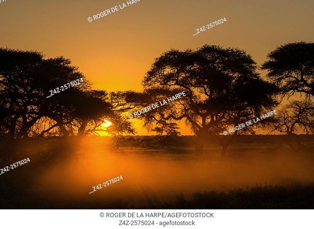 Camel thorn or giraffe thorn trees (Vachellia erioloba = Acacia erioloba). Haina Kalahari Lodge. Botswana