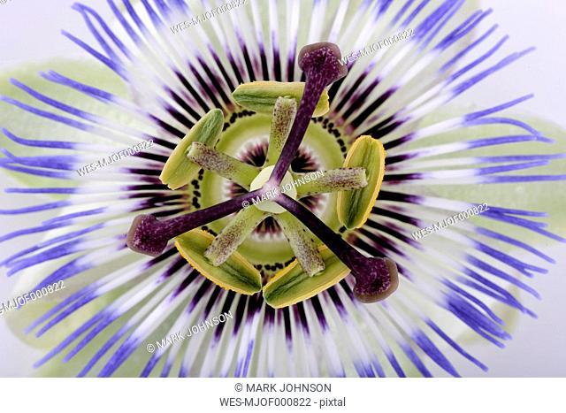 Part of passion flower, Passiflora