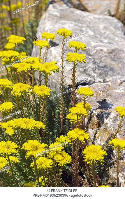 Reflexed stonecrop, Sedum rupestre / Felsen-Fetthenne, Sedum rupestre