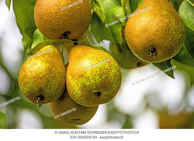 pears on a tree in Germany