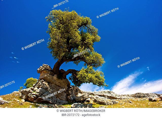 Rustic Stone Oak (Quercus ilex) growing on a rocky peak, Middle Atlas, Morocco, Africa