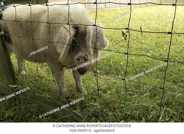 Black spotted pig with a ringed snout in three quarter view investigating from behind wild grasses and a wire fence in Gloucestershire, England