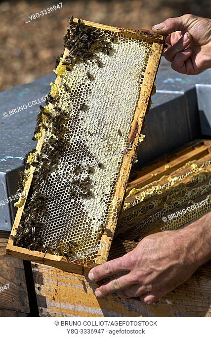 Olivier Payan beekeeper in valensole, honeycombs, built in wax by worker bees to store honey and pollen. Alpes de Haute Provence, France