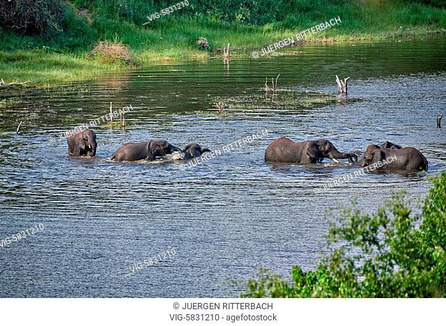 herd of African bush elephants, Boteti River, Makgadikgadi-Pans-National Park, Botswana, Africa - Botswana, 16/02/2017