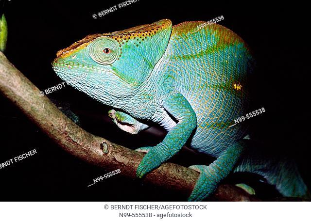 Chameleon (Calumma parsonii), Réserve spéciale de Perinet-Analamazaotra, near Andasibe. Madagascar