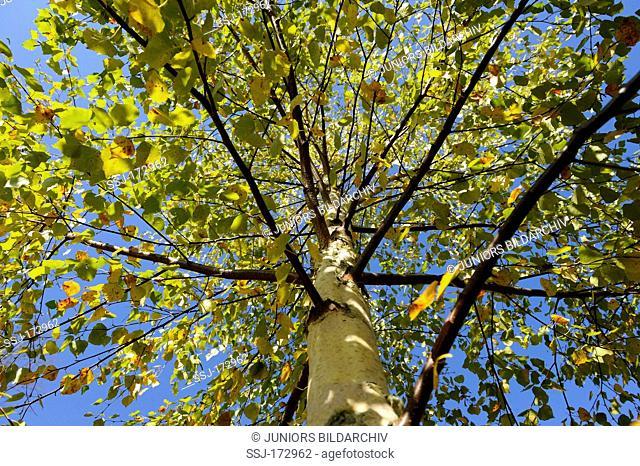 European White Birch, Silver Birch (Betula pendula, Betula verrucosa), tree in autumn colours