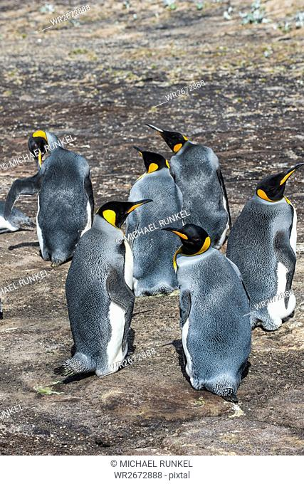 King penguin colony (Aptenodytes patagonicus), Saunders Island, Falklands, South America