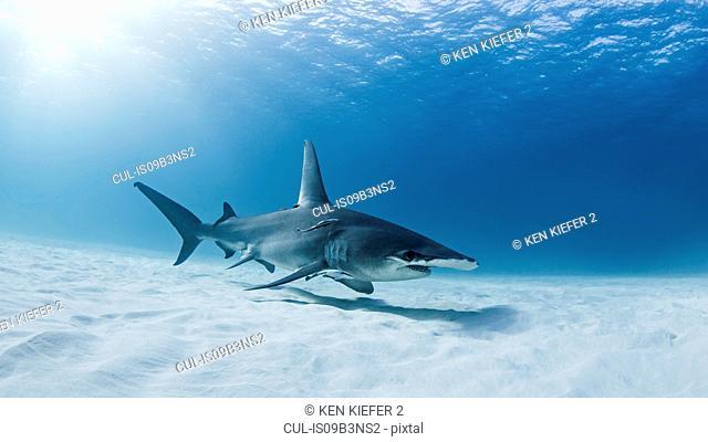 Great Hammerhead shark, underwater view