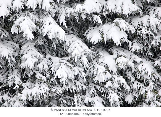 Pine-trees covered with snow  Location: France, Vosges