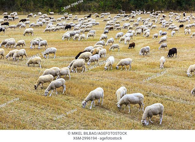 Flock of sheeps in a wheat field. Antoñana, Campezo. Alava, Basque Country, Spain, Europe
