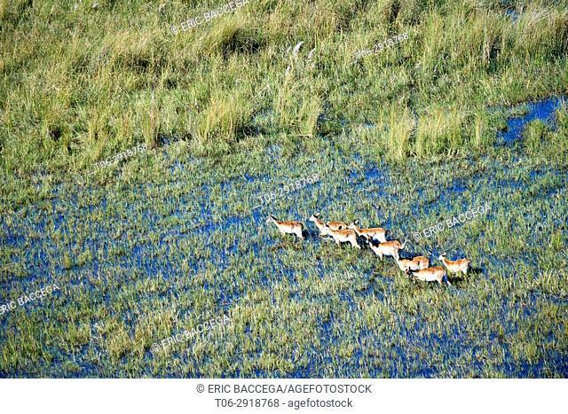 Aerial view of Lechwe (Kobus leche) crossing wetlands, Okavango Delta, Botswana, Africa
