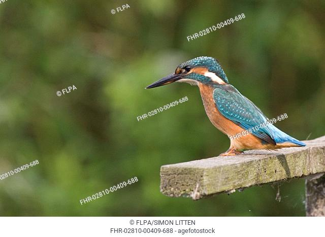 Common Kingfisher Alcedo atthis adult female, perched on wooden post, England