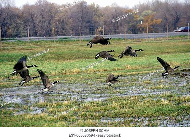Birds flying over Montezuma National Wildlife Refuge, Seneca Falls, NY