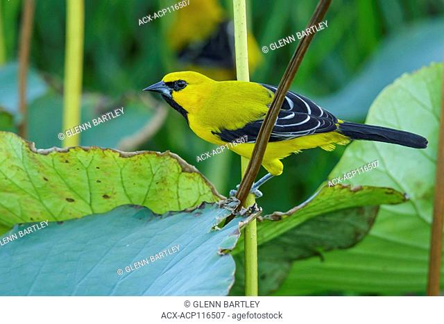 Yellow Oriole (Icterus nigrogularis) perched on a branch in the grasslands of Guyana
