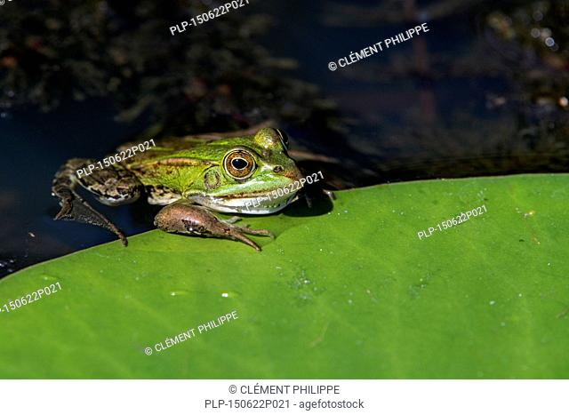 Edible frog / common water frog / green frog (Pelophylax kl. esculentus / Rana kl. esculenta) climbing on floating leaf of European white waterlily / white...