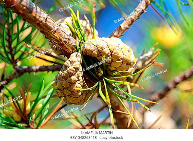 Two scots pine cones on a tree before opening
