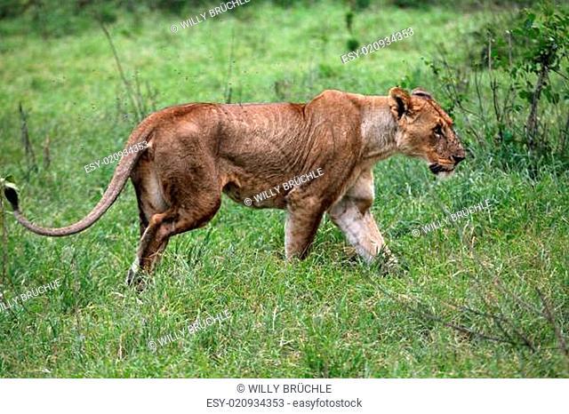 Löwin im Lake Nakuru Nationalpark