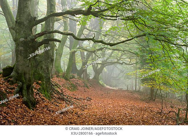 Autumn mist in woodland on the Quantock Hills near Nether Stowey Somerset England