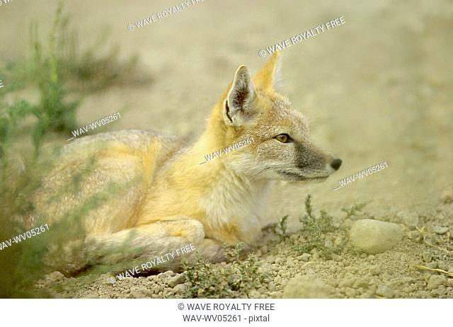 Swift fox, Vulpes velox is a prairie predator