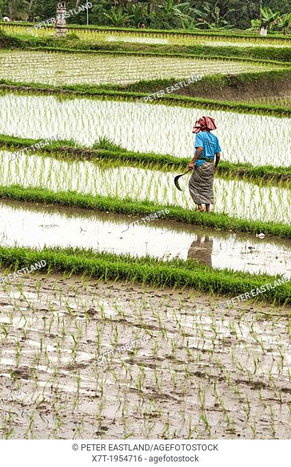 Woman walking amongst the rice fields surrounding Ubud, central Bali, Indonesia