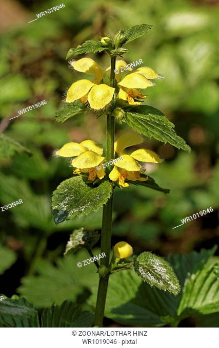 Lamium galeobdolon, Deadnettle, Yellow archangel