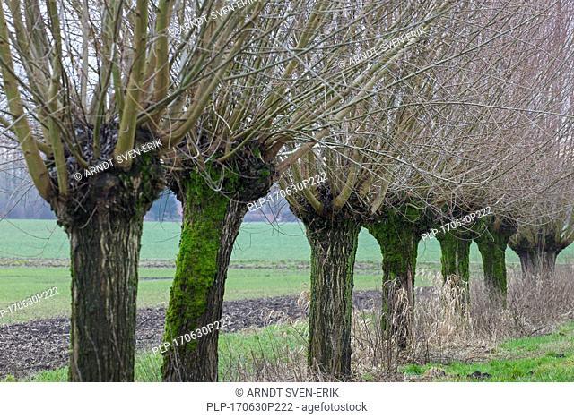 Row of pollarded white willows (Salix alba) bordering field in winter