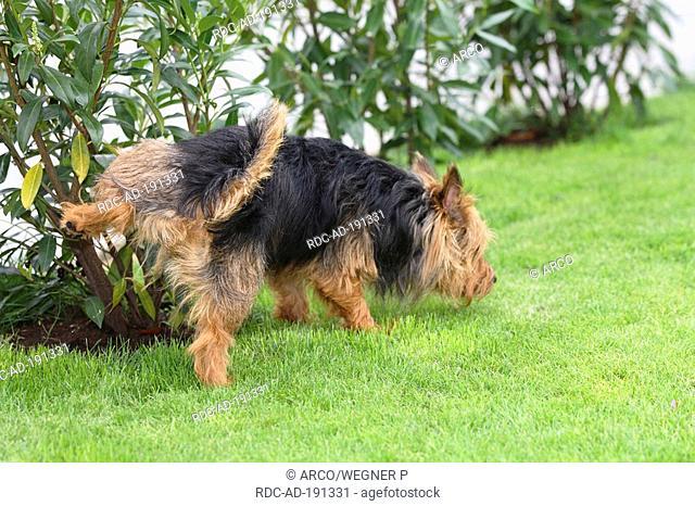 Australian Terrier, urinating