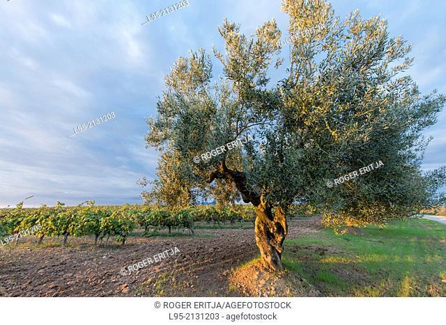 Olive trees scattered between vineyards in the Penedes qualified wine region, Spain