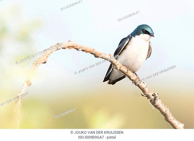 Tree Swallow (tachycineta bicolor) perched on branch, Coyote Hills Regional Park, California, United States, North America