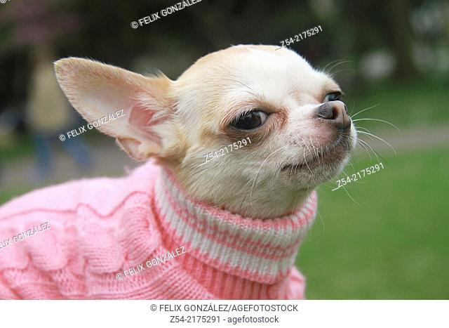 Dog short-haired chihuahua wearing dog jersey