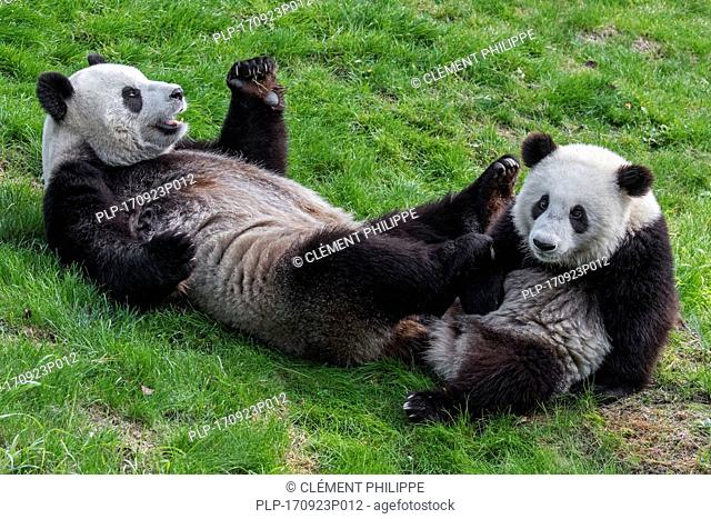 Giant panda (Ailuropoda melanoleuca) female with one-year old cub in zoo
