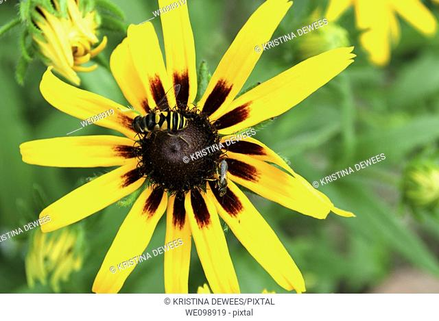 Some different insects on a Rudbeckia Hirta bloom