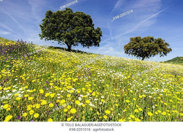 Dehesa (pasture) in spring, Campo Maior, Alentejo, Portugal