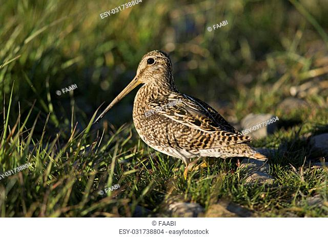 South American snipe on the grass in the laguna Nimez in Patagonia, Argentina. Scientifical name Gallinago Paraguaiae