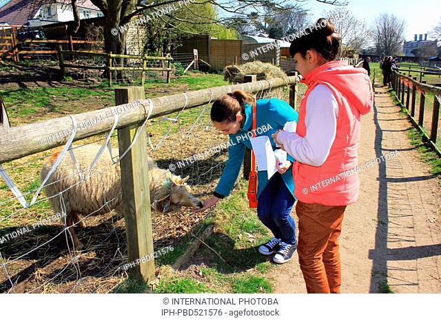 England Dorset Kingston Maurward Animal farm visitor pictures - feeding the sheep Peter Baker