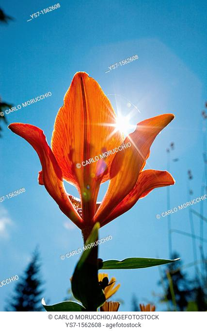 Lilium bulbiferum, orange lilium flowering during the summer in the alpine meadows, Dolomites, Belluno, Italy, Europe