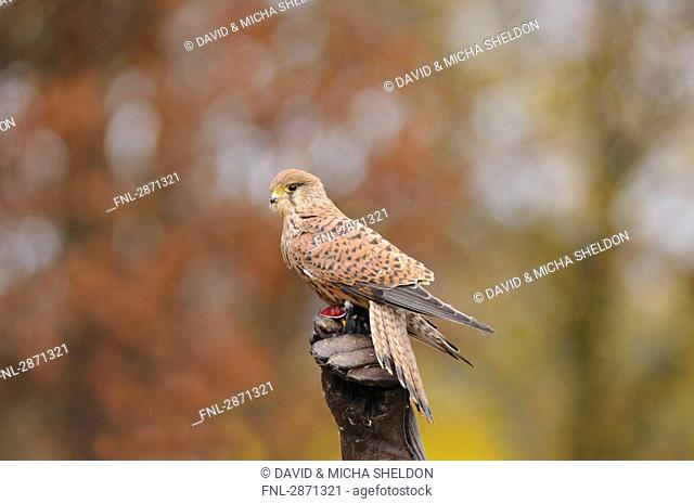 Common Kestrel Falco tinnunculus perching on tree stump, Bavaria, Germany
