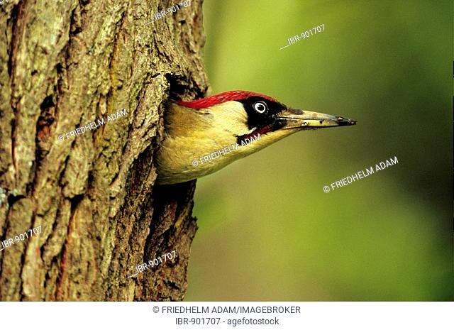 Green Woodpecker (Picus viridis) cock looking out of a nesting hole, Neunkirchen im Siegerland, North Rhine-Westphalia, Germany, Europe