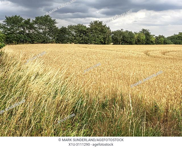 Wheat crop ready to harvest in a field near Knaresborough North Yorkshire England