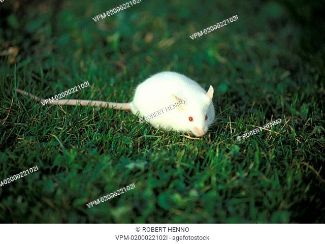 MUS MUSCULUSWHITE MOUSE
