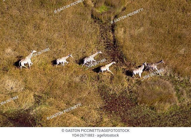 Giraffe (Giraffe camelopardalis), running in the floodplain, Okavango Delta, Botswana. The Okavango Delta is home to a rich array of wildlife