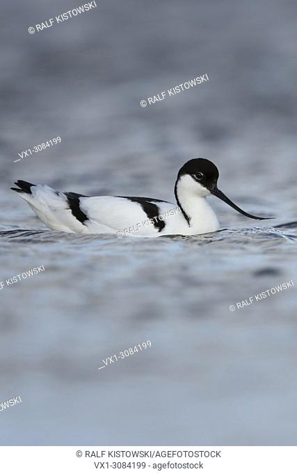 Pied Avocet ( Recurvirostra avosetta ), swimming / resting on open water, typical wader bird in wadden sea, wildlife, Europe