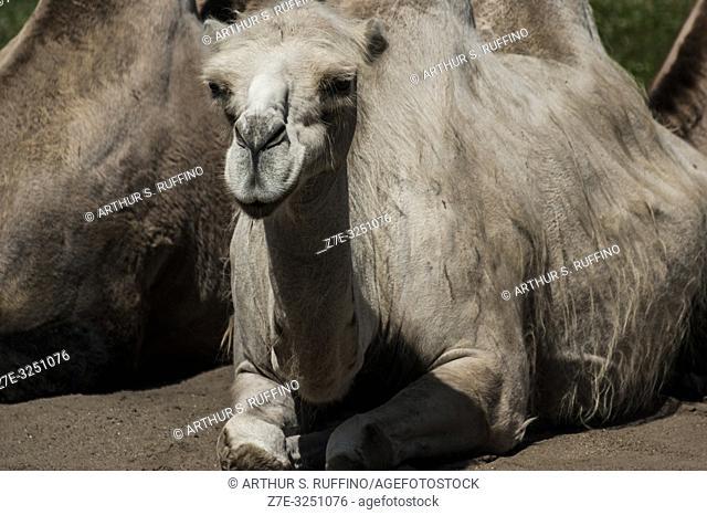 Bactrian camels (Camelus bactrianus). Tallinn Zoo, Tallinn, Estonia, Baltic States